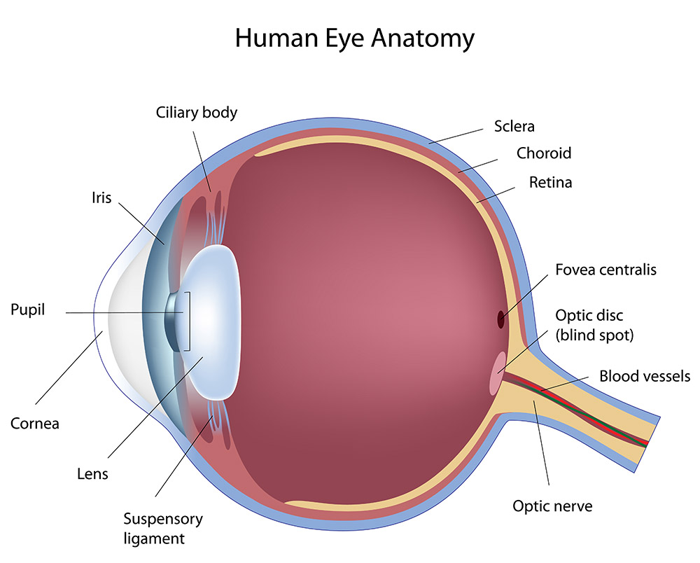 Carolina Vision Center - Fayetteville, NC - Eye Anatomy 101